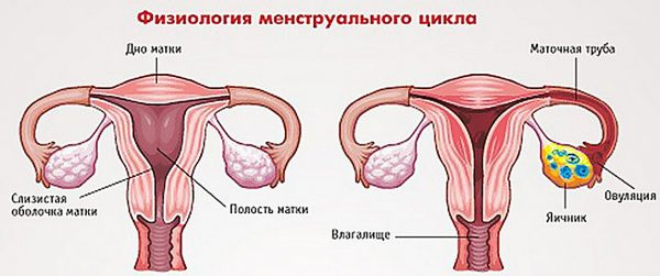 Физиология менструального цикла: схема