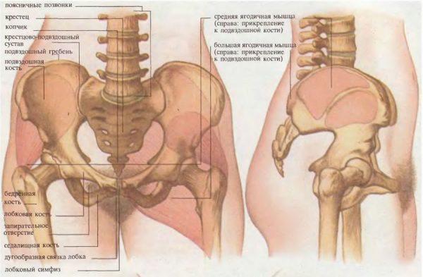 анатомия костей женского таза