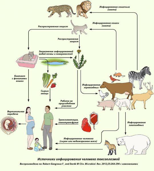 Источники инфицирования токсоплазмой