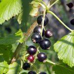 Листья и плоды чёрной смородины