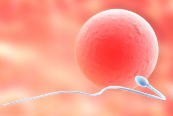 Сперматозоид направляется к яйцеклетке