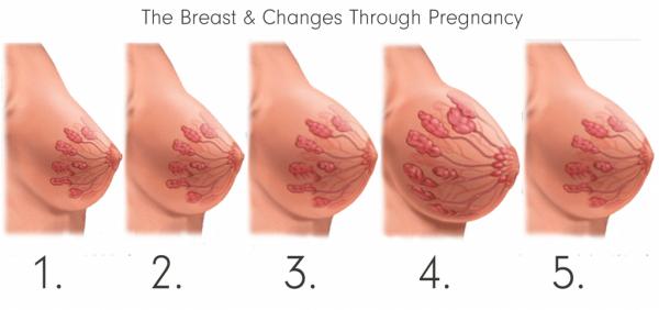 Схема трансформации груди во время беременности