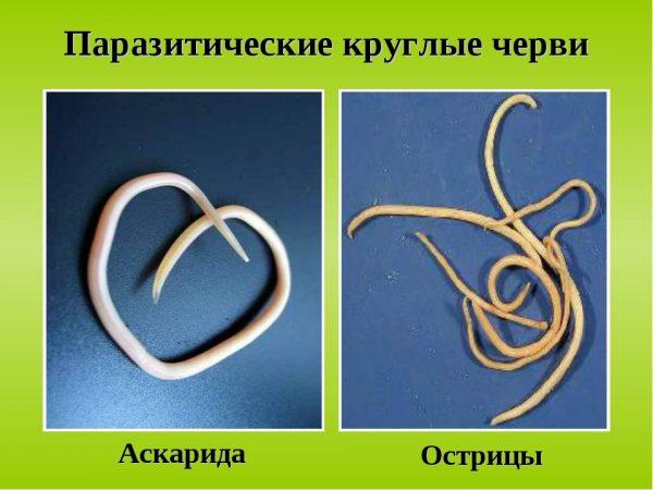 Внешний вид аскарид и остриц