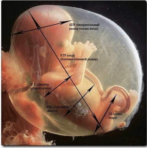 Измерение копчико-теменного размера
