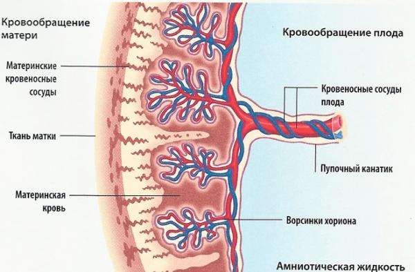 Сформировавшаяся плацента в разрезе