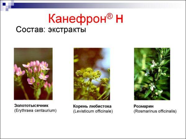 Растения, входящие в состав Канефрона