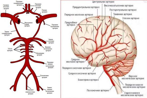 Виллизиев круг и расположение средней мозговой артерии