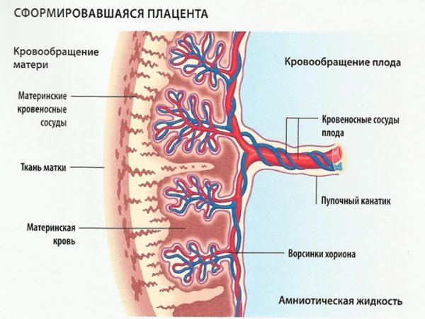Кровеносные сосуды плаценты и пуповины