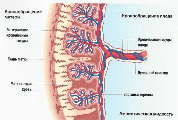 Схема строения сформированной плаценты