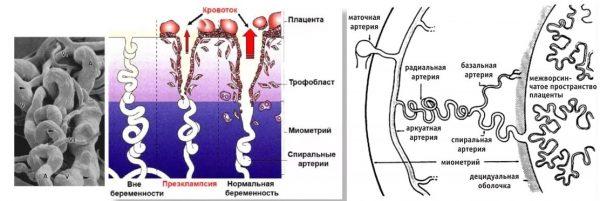Вид спиральных артерий и их локация