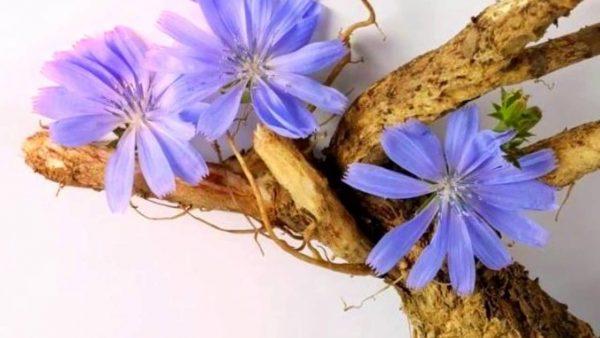 Цветы и корень цикория