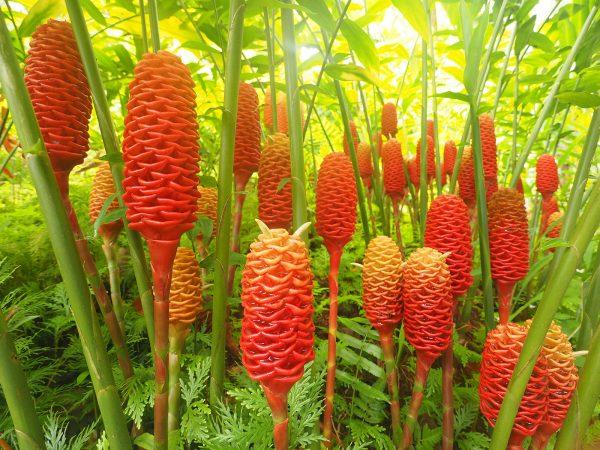 Имбирь — внешний вид растения