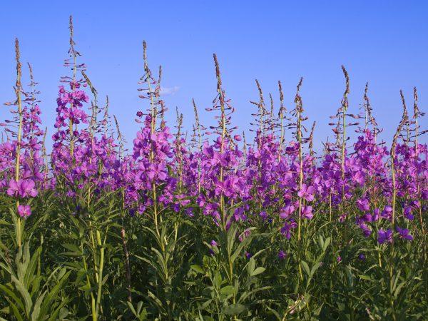 На фото цветущий кипрей узколистный