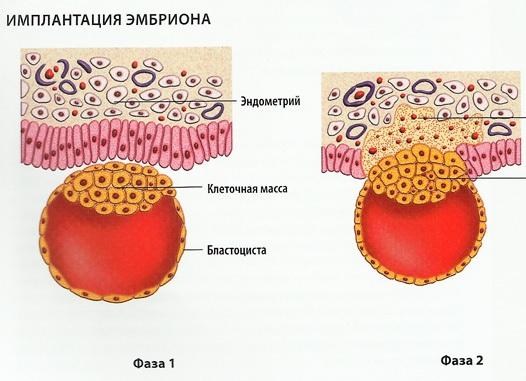 Эмбрион вживляется в стенку матки