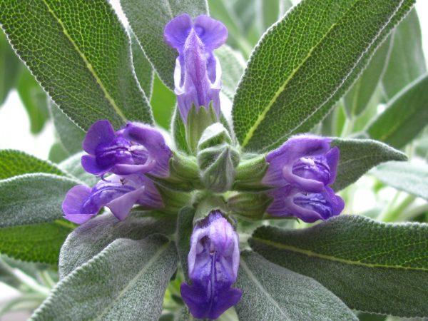 Цветки и листья шалфея