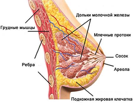 Схема строения женской груди