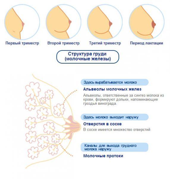 Схема изменения женской груди в разные триместры беременности
