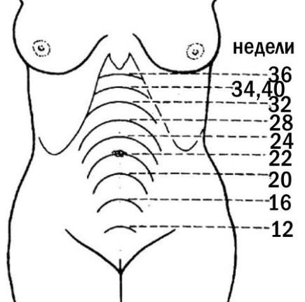 Высота состояния дна матки при различных сроках беременности