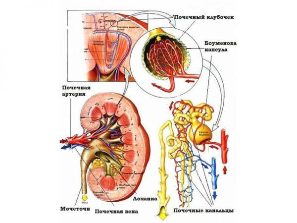 Процесс движения жидкости в почке